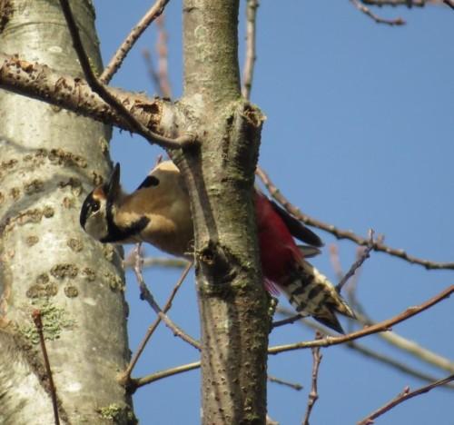 GreatWoodpecker22