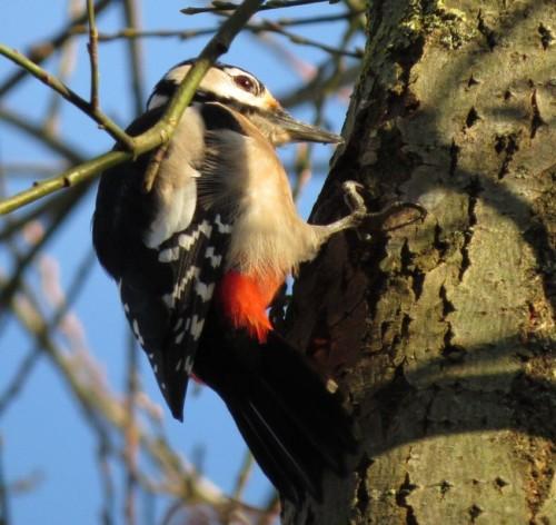 GreatWoodpecker23
