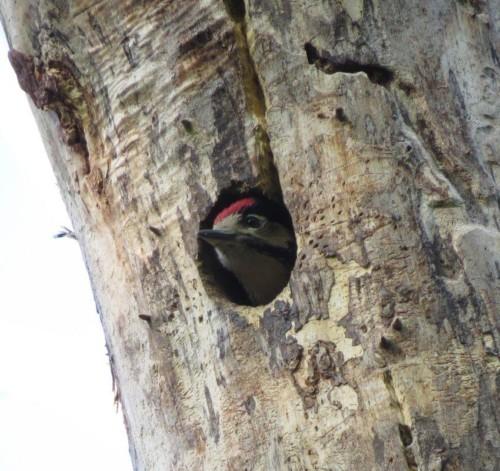 GreatWoodpecker26