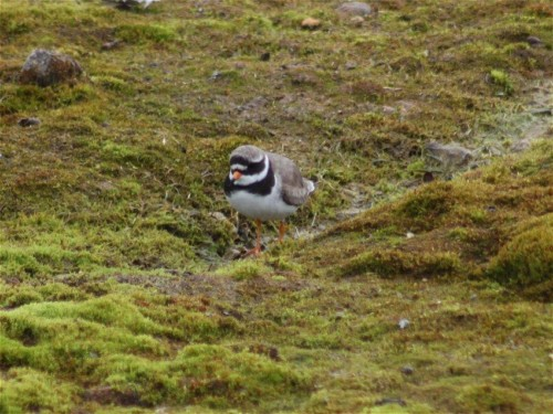 Great ringed plover001