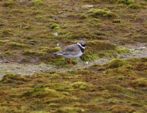 Great ringed plover002