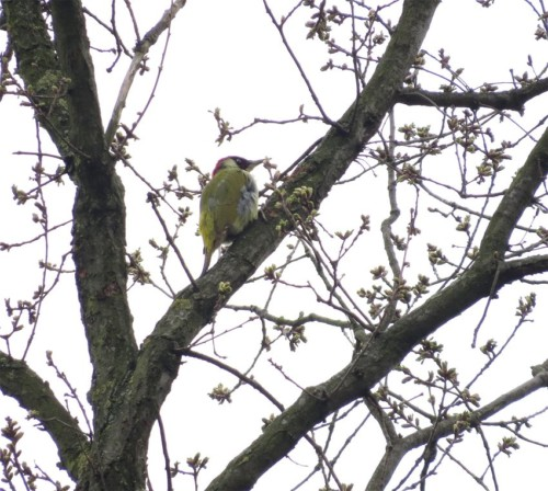 GreenWoodpecker003