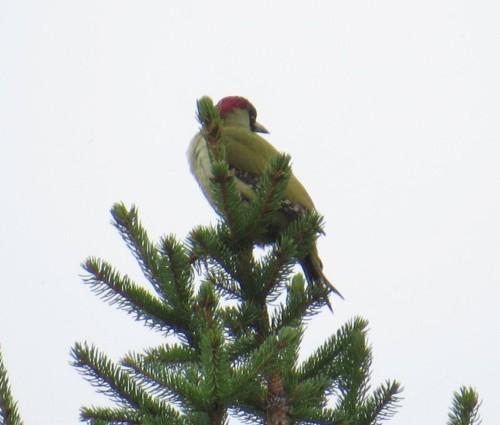 GreenWoodpecker004
