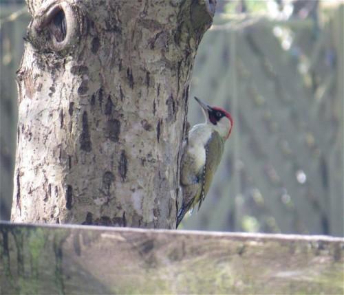 GreenWoodpecker005