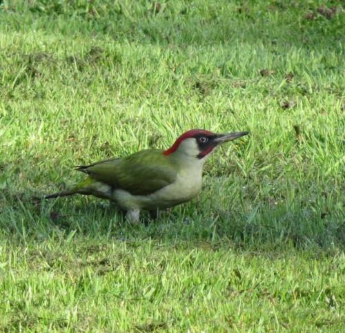 GreenWoodpecker009