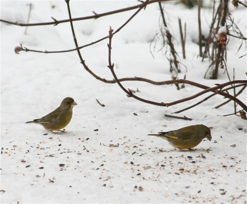 Greenfinch001