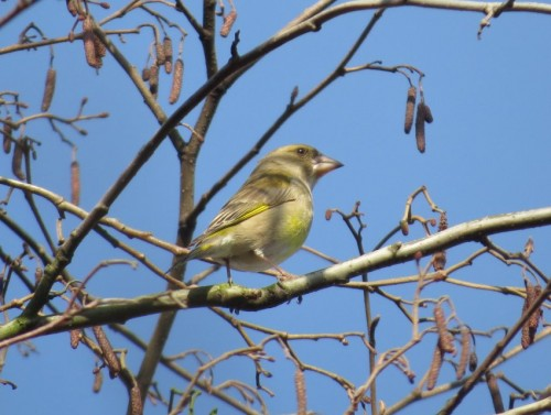Greenfinch002