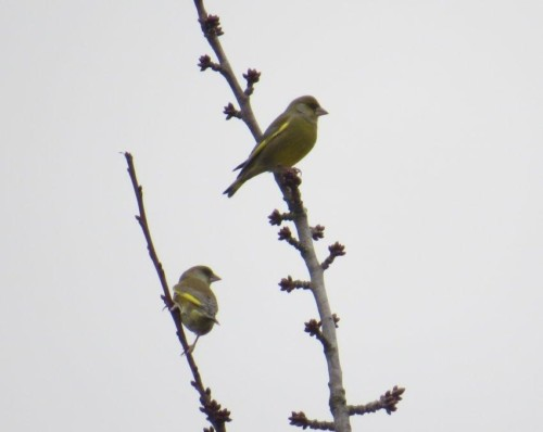 Greenfinch003