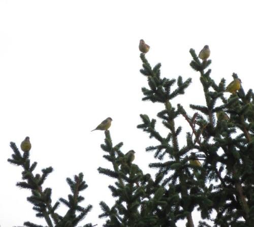 Greenfinch004