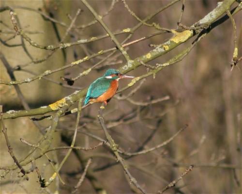 Kingfisher001