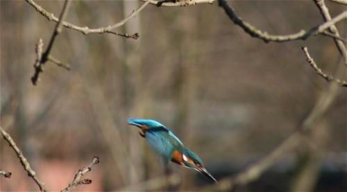 Kingfisher002