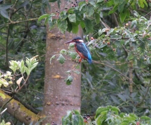 Kingfisher006