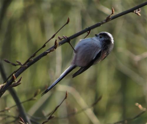 Long-tailedBushtit005