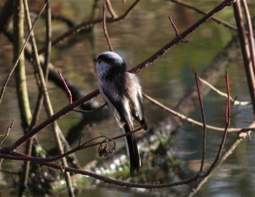 Long-tailedBushtit006