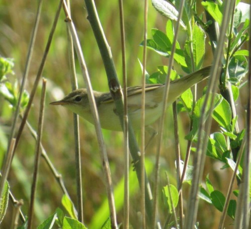 Marsh warbler001