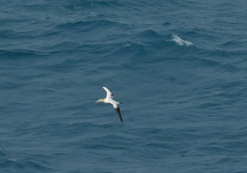 NorthernGannet001