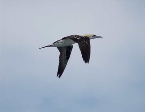 NorthernGannet002