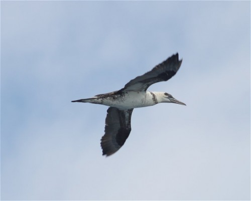 NorthernGannet003
