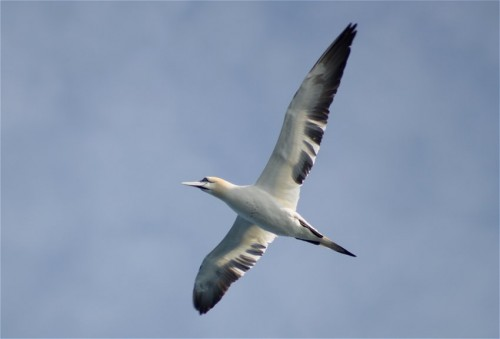 NorthernGannet005