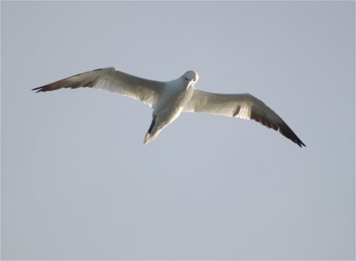 NorthernGannet007