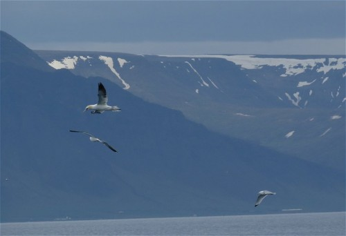 NorthernGannet008