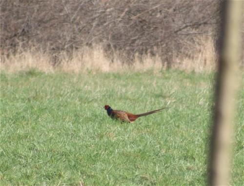 Pheasant002