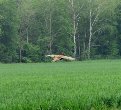 Pheasant003