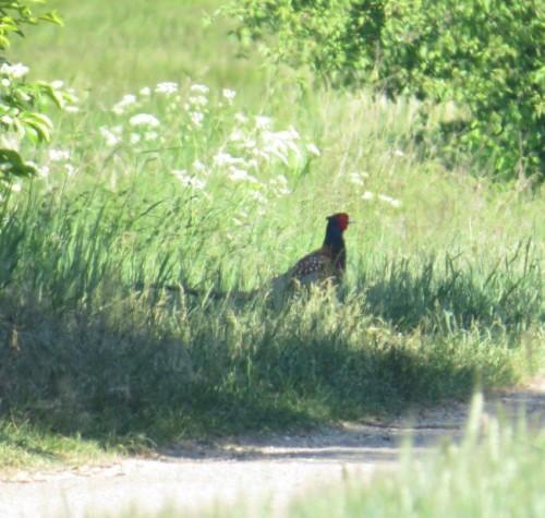 Pheasant004