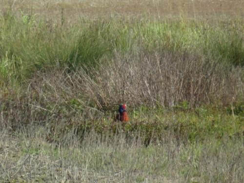 Pheasant005