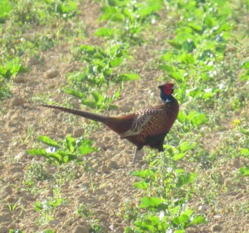 Pheasant006