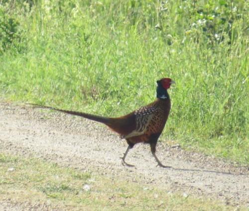 Pheasant007