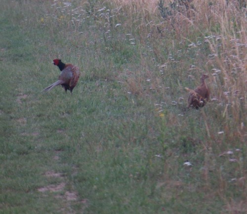 Pheasant008