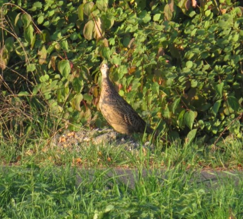Pheasant010
