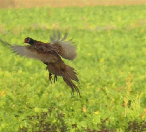 Pheasant012