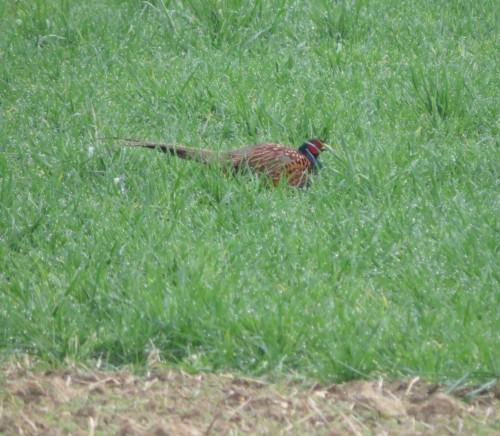 Pheasant015