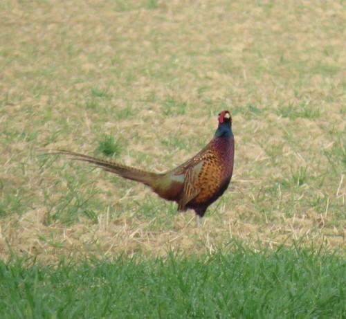 Pheasant017
