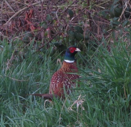 Pheasant019