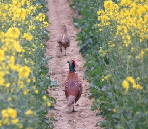 Pheasant021