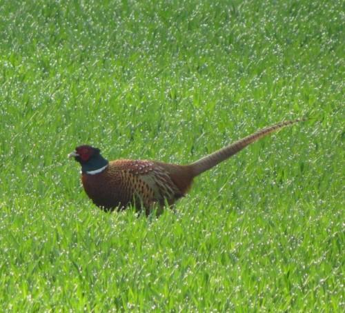 Pheasant023