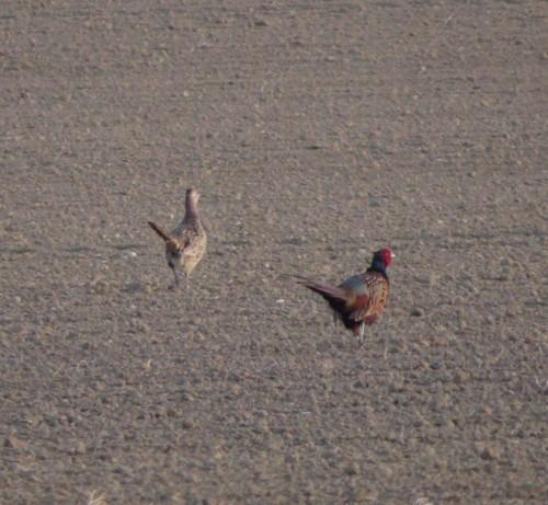 Pheasant024