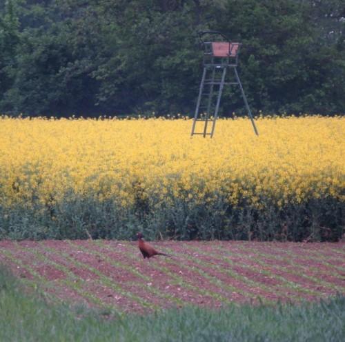 Pheasant025