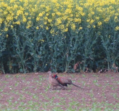 Pheasant026