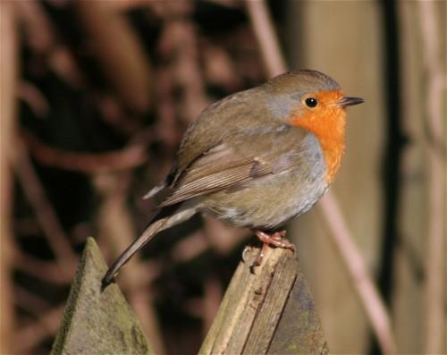 Robin002