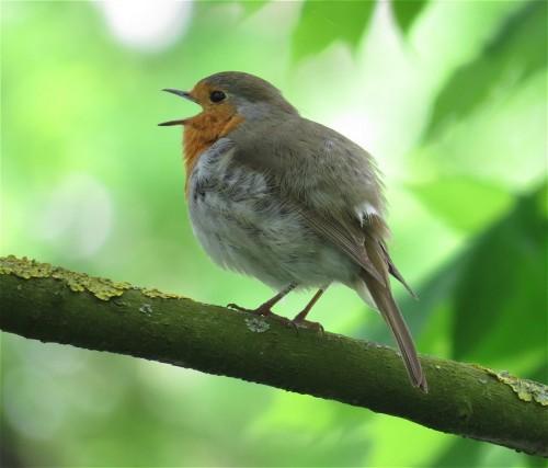 Robin003