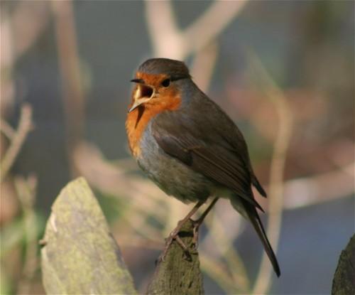 Robin006