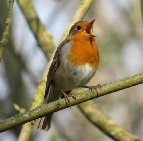 Robin013