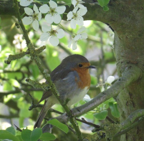 Robin014