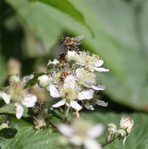 Biene - Unbekannt-03