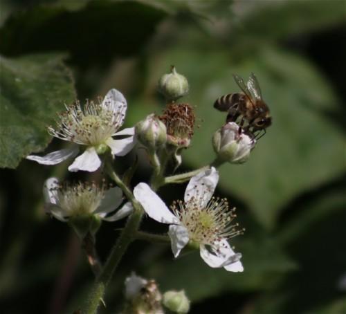 Biene - Unbekannt-04