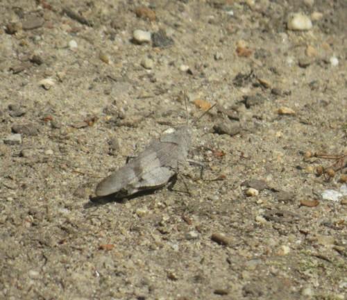 BlauflügeligeÖdlandschrecke-02